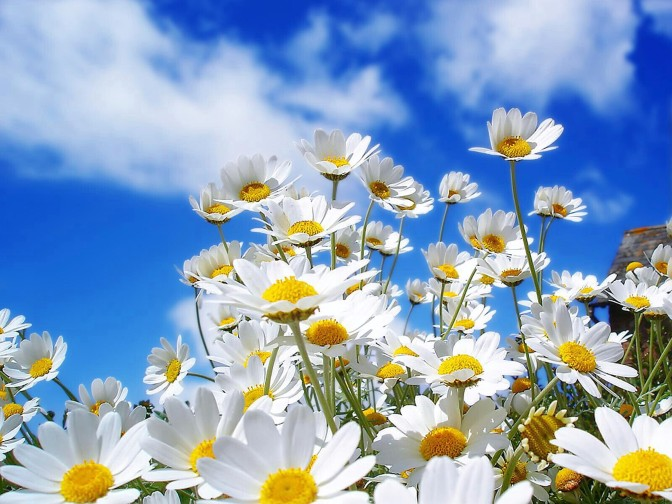 White-spring-flower-in-morning-background