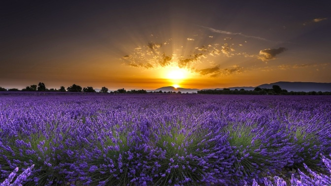 valensole-france-lavender-flowers-sunrise-dawn_1920x1080